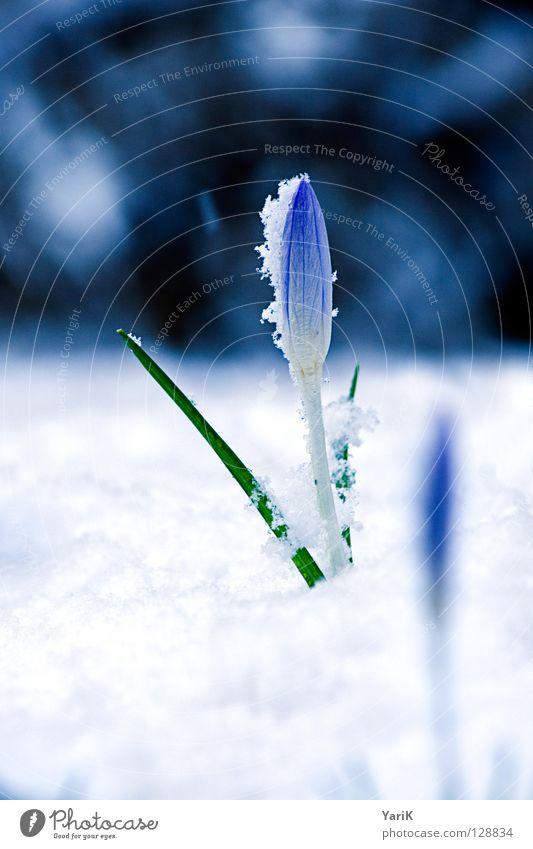 unaufhaltsam weiß Blume blau Winter kalt Blüte Frühling hell Wachstum Blühend Krokusse sprießen