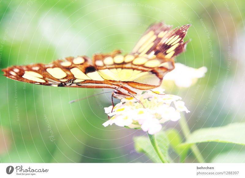 zart Natur Pflanze Tier Frühling Sommer Blume Blatt Blüte Garten Park Wiese Wildtier Schmetterling Flügel malachitfalter 1 beobachten Erholung fliegen Fressen