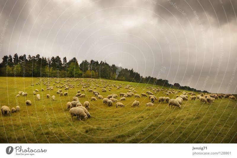Weidelandschaft. Himmel Natur Tier Wiese Herbst Gras Wetter Landwirtschaft Schaf Wolle Hirte Schafherde Schäfer