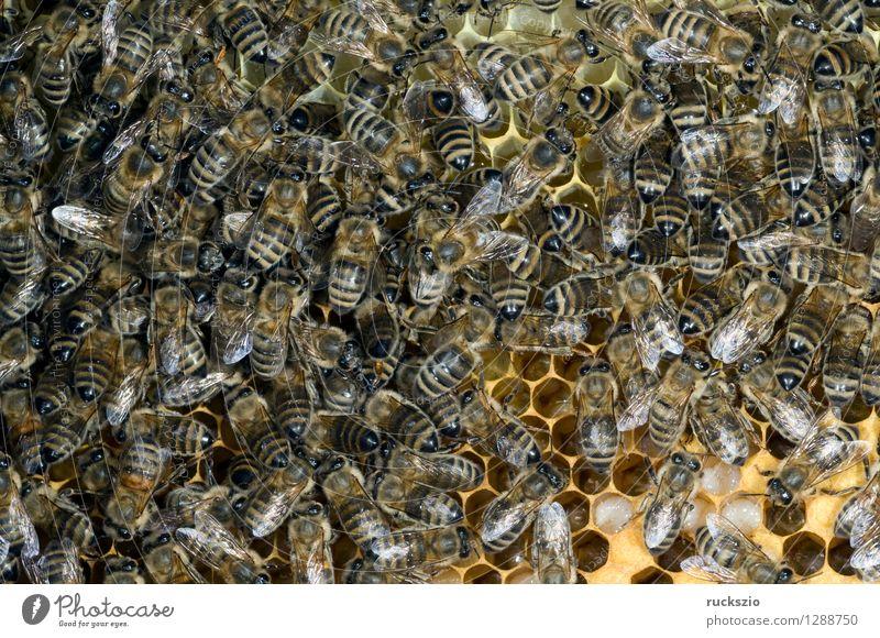 Honigbienen, Biene; Apis; mellifera authentisch Insekt Haustier Kasten Pollen Nest Staubfäden Beute Nektar Bienenstock Bienenkorb
