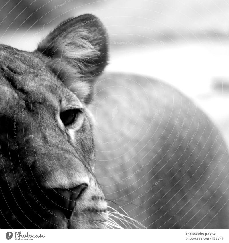 Träumend Löwe Löwin Raubkatze Landraubtier Katze Barthaare süß Trauer gefangen Zoo Jäger Fleischfresser Säugetier Grauwert Quadrat Unschärfe Haftstrafe