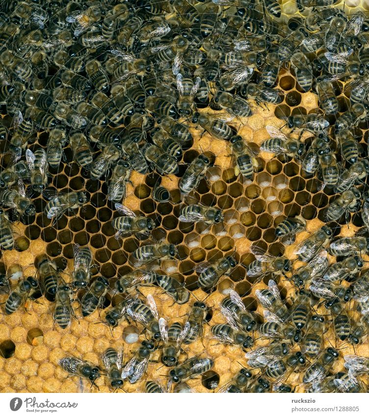 Honigbienen, Biene; Apis; mellifera authentisch Insekt Biene Haustier Kasten Arbeiter Nest Honig Beute Nektar Bienenstock Larve Gelege Honigbiene Bienenkorb