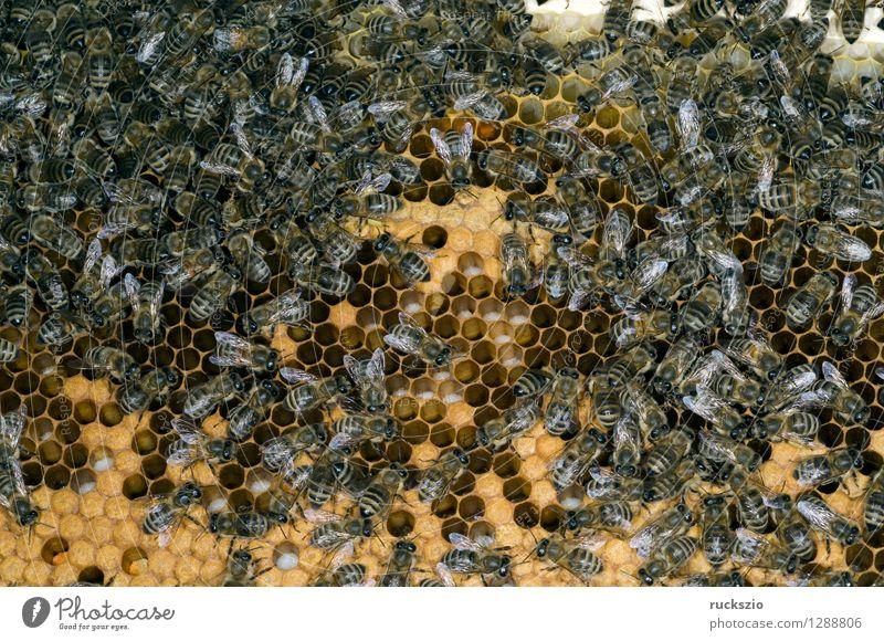 Honigbienen, Biene; Apis; mellifera Haustier Kasten authentisch Bienenstock Arbeiter Honigkasten Gelege Streckmade rundmade Larve bienenlarve Honigraum