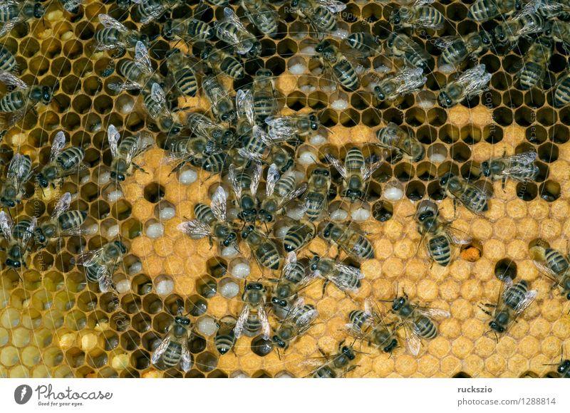 Honigbienen, Biene; Apis; mellifera authentisch Insekt Biene Haustier Kasten Pollen Arbeiter Nest Honig Staubfäden Beute Nektar Bienenstock Larve Gelege Honigbiene