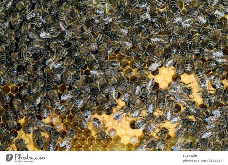 Honigbienen, Biene; Apis; mellifera Arbeit & Erwerbstätigkeit Insekt Haustier Kasten krabbeln Pollen Arbeiter Nest Staubfäden Beute Nektar Bienenstock Larve