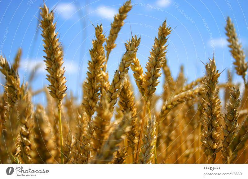 Weizenfeld Himmel blau Landschaft gelb gold Lebensmittel Ernährung Bier Getreide Ähren Mehl