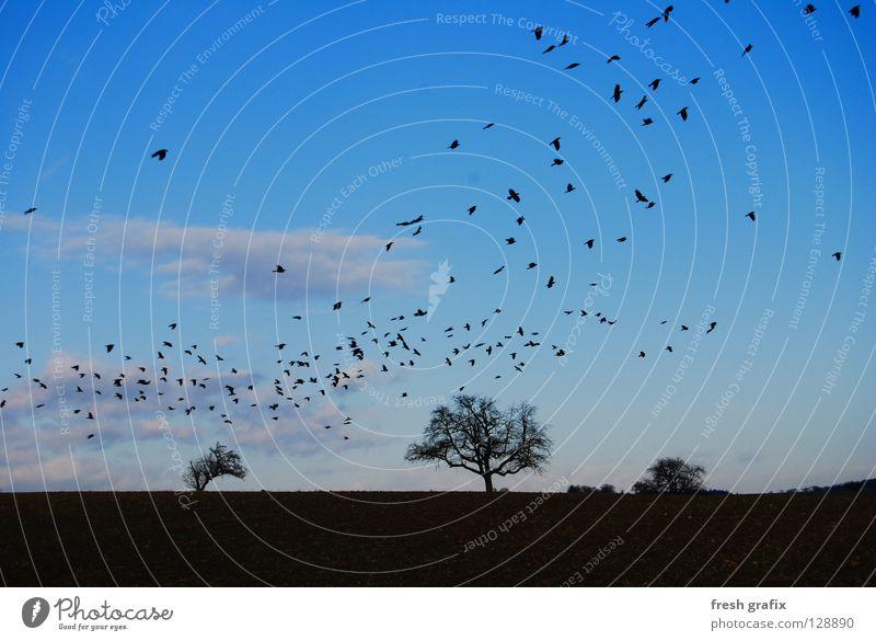 rabenschwarm Natur Tier Herbst Freiheit Vogel Feld Beginn Luftverkehr Schwarm Dieb Abheben Rabenvögel Vogelschwarm