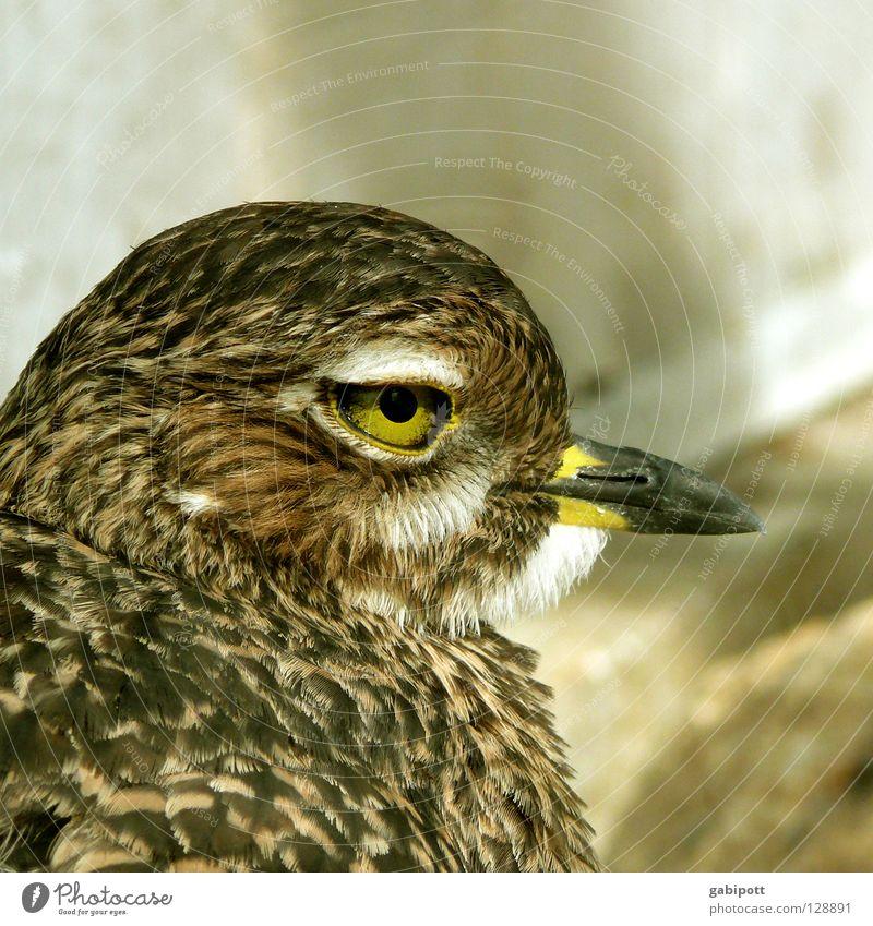 Augen.Blick gelb Leben Vogel braun natürlich Feder beobachten Tiergesicht Schnabel Pupille Ornithologie Vogelkopf