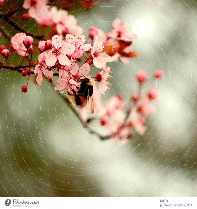 Hummel Hummel mors mors Natur Pflanze Tier Blüte Frühling rosa Umwelt weich natürlich festhalten Blühend krabbeln fleißig