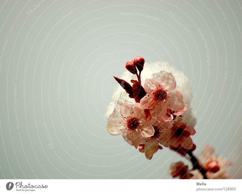 winterlicher Frühling weiß Baum Winter kalt Schnee Blüte grau Eis rosa Umwelt Frost Sträucher Ast Blühend gefroren