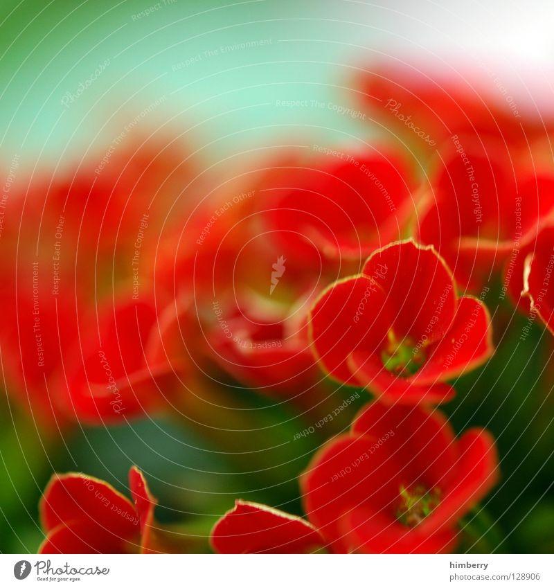 antonia sieht rot Natur Pflanze schön grün Farbe Sommer rot Blume gelb Frühling Blüte Hintergrundbild Wachstum frisch Vergänglichkeit Blütenknospen
