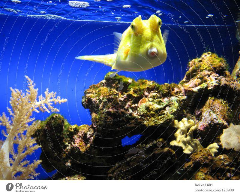 Kuhfisch Wasser Meer blau gelb Farbe Lampe Leben frisch Fisch Lebewesen Scheune Atlantik Riff Korallen Korallenriff