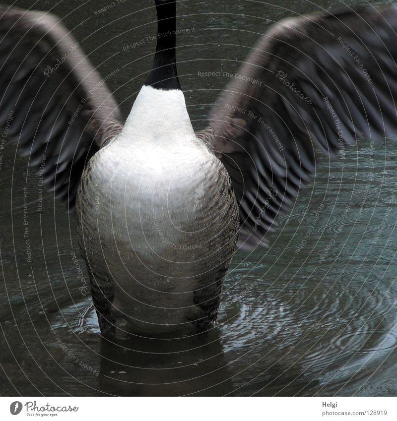 Brust raus.... Wasser weiß Tier schwarz See Beine Vogel braun Schwimmen & Baden fliegen groß stehen Feder Flügel lang dünn