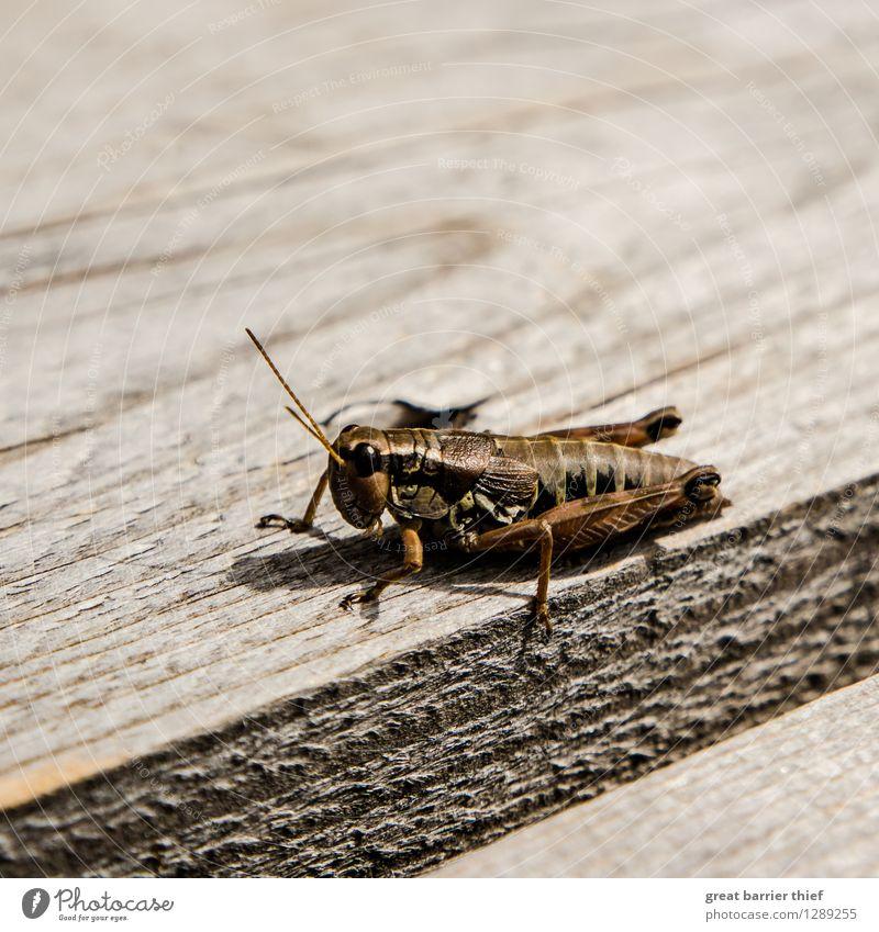 Heuhüpfer aus dem Torfmoor Tier 1 hocken braun mehrfarbig gelb gold Insekt heuhüpfer Heuschrecke Farbfoto Außenaufnahme Nahaufnahme Detailaufnahme Makroaufnahme