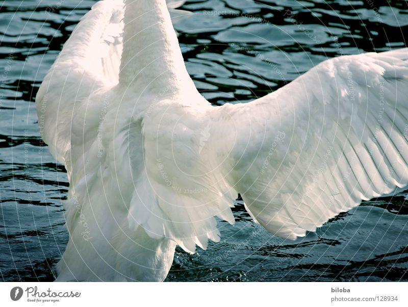 Darf ich dich mal kräftig drücken? Wasser weiß Tier schwarz See Vogel Kraft fliegen Arme elegant Feder Flügel weich Fluss lang