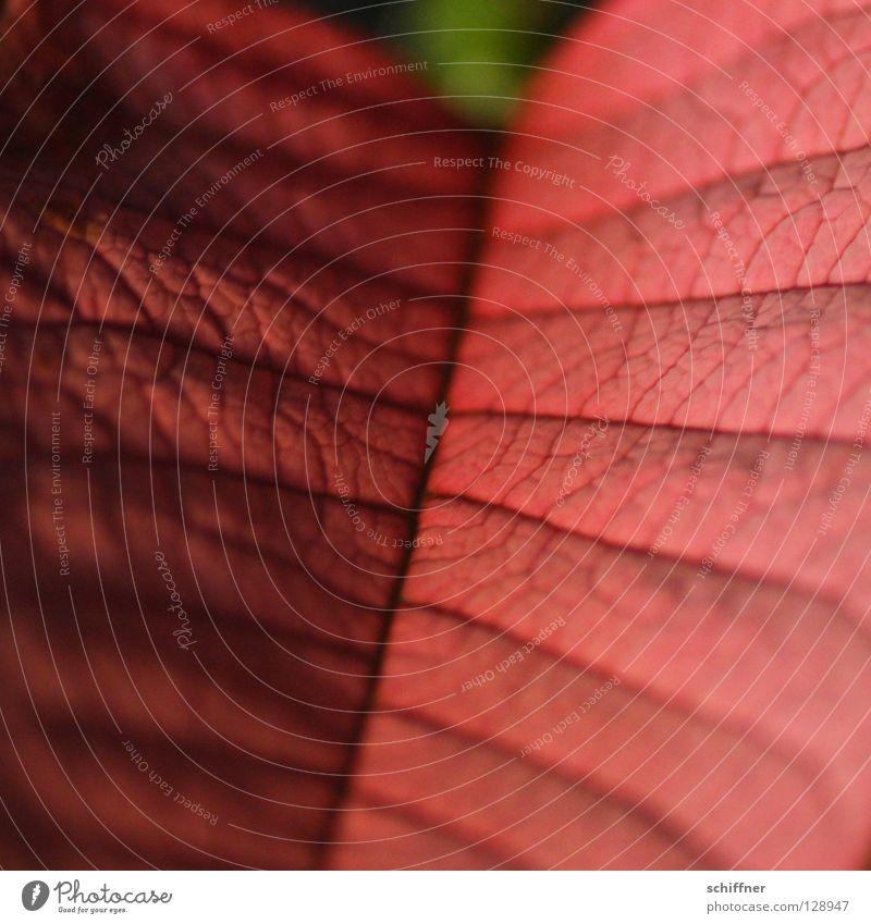 Überbleibsel Blatt Hochblätter Pflanze Zimmerpflanze Blattadern Gefäße Rutsche rot kein Blütenblatt rotes Blatt ist schon lange vorbei