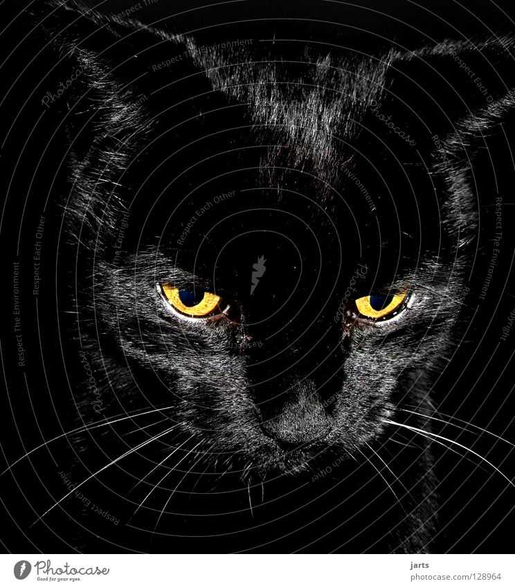 black cat II schwarz Auge Lampe Katze Nase Fell Konzentration Säugetier Hauskatze Tier