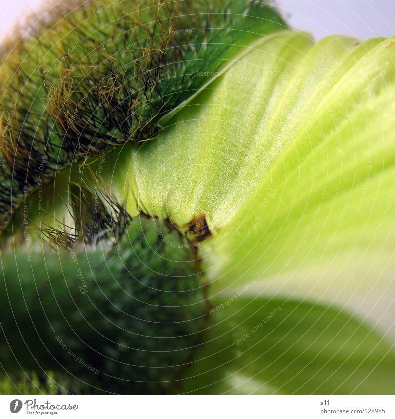 MohnDetail II Blume Blüte Pflanze Trennung Ablösung Blütenblatt fein zart Glätte stachelig grün springen Stengel Vergänglichkeit schön entfalten Quadrat