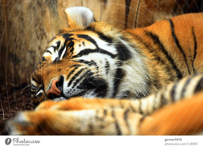 Sleeping Horror weiß schwarz Katze orange Angst Nase groß schlafen gefährlich Streifen Ohr Fell schreien Bart Säugetier gestreift