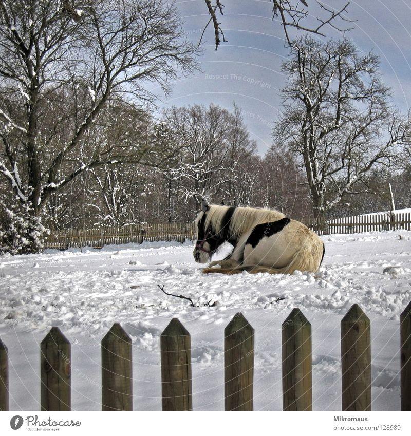 erschöpft Müdigkeit Pferd Winter Schneespur Zaun gefangen Holzbrett Fell Mähne Tier Säugetier kalt Eis frieren Feld Vieh ruhen Erschöpfung Spuren eingezäunt