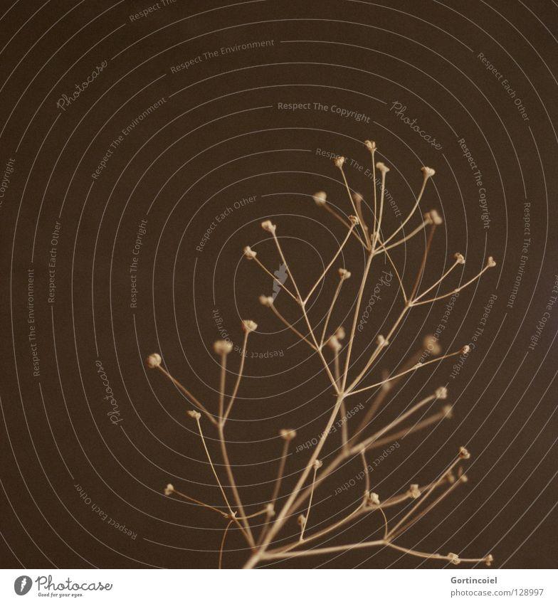 Pflanzen haben Style V Stil Linie braun elegant Design trist Dekoration & Verzierung einfach trocken Blütenknospen beige kahl getrocknet minimalistisch verzweigt puristisch