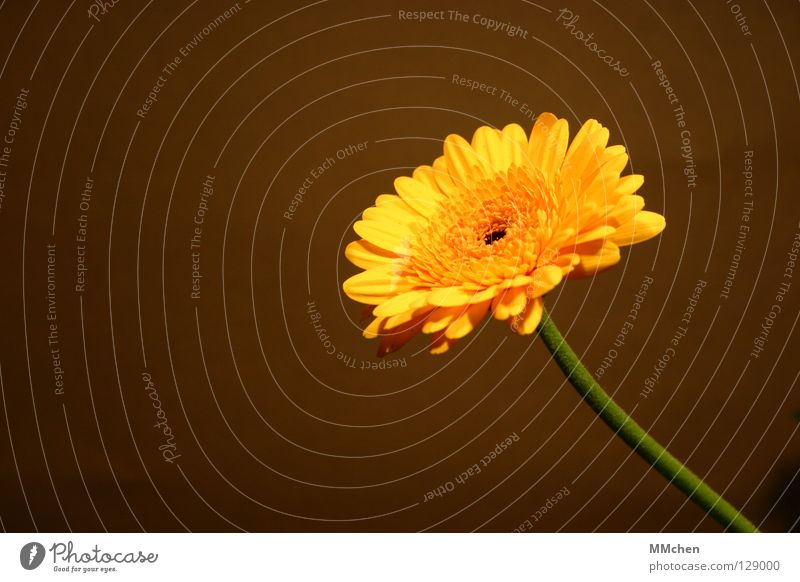 Single Sommer Pflanze gelb Frühling Blüte braun aufwärts Blütenblatt Korbblütengewächs Gerbera himmelwärts Topfpflanze Blume Rosette krautig