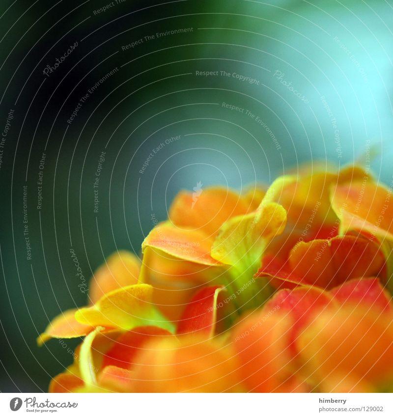 antonias destiny Blume Blüte grün rot Blütenblatt Botanik Sommer Frühling frisch Wachstum Pflanze gelb Hintergrundbild Vergänglichkeit Farbe Freude