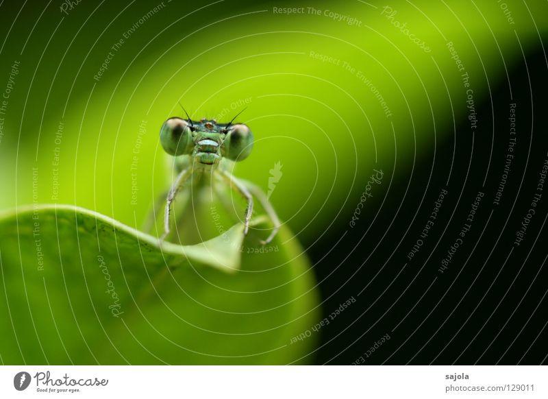 was guckst du? Tier Wildtier Libelle Klein Libelle Insekt 1 dünn grün Facettenauge Pechlibellen frontal Auge Kopf Blatt Farbfoto Außenaufnahme Nahaufnahme