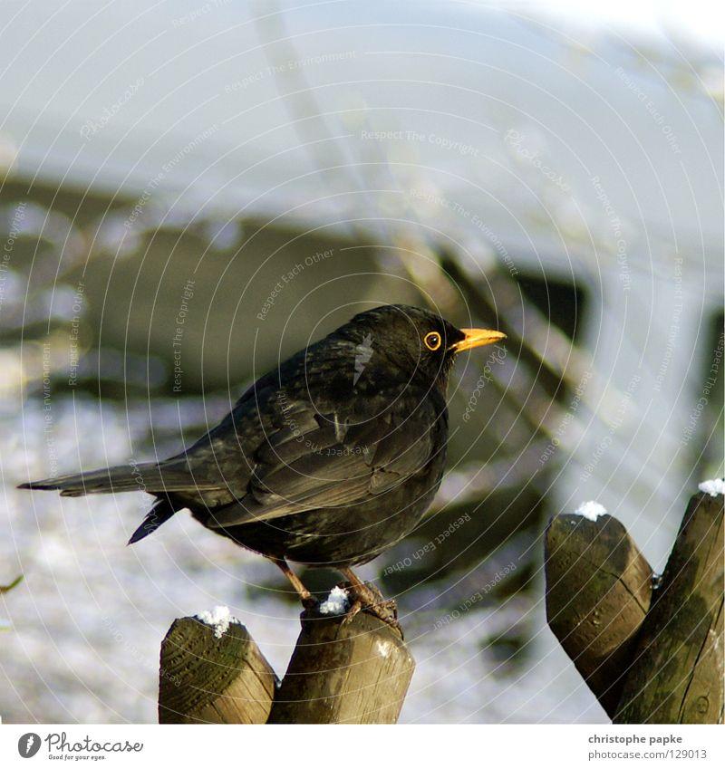 der frühe vogel fängt den wurm Natur Tier Winter schwarz Schnee Vogel sitzen Feder Flügel festhalten Zaun Schnabel Pfosten Lebensraum Federvieh Amsel