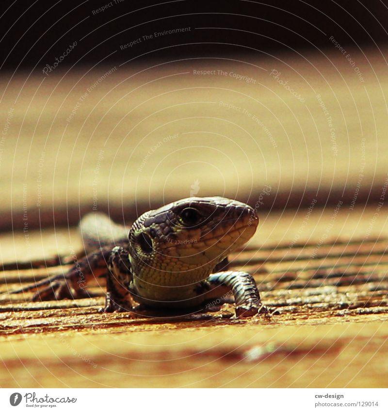 DER FRÜHE VOGEL KANN MICH MAL Holz Furche Echsen Echte Eidechsen Tier Reptil Verschmitzt Unschärfe Dinosaurier Leder Muster mehrfarbig Makroaufnahme hart