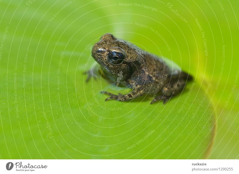 Jungfrosch, Junge, Kroete, Bufo, bufo, Erdkroete, Teich Wildtier Frosch Tierjunges klein Kröte Erdkröte 12 Woche Junger Amphibie Laichen Froschlurche Ei
