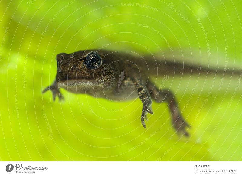 Jungfrosch, Junge, Kroete, Bufo, bufo, Erdkroete, Tier Teich Wildtier Frosch Tierjunges klein Kröte Erdkröte 12 Woche Junger Amphibie Laichen Froschlurche Ei