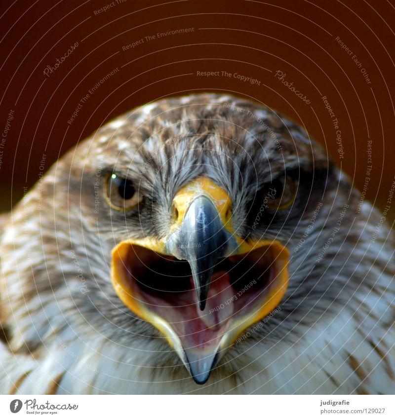 Adler Bussard Vogel Greifvogel Schnabel Feder Ornithologie Tier schön schreien Farbe königsraufußbussard Stolz Blick Auge