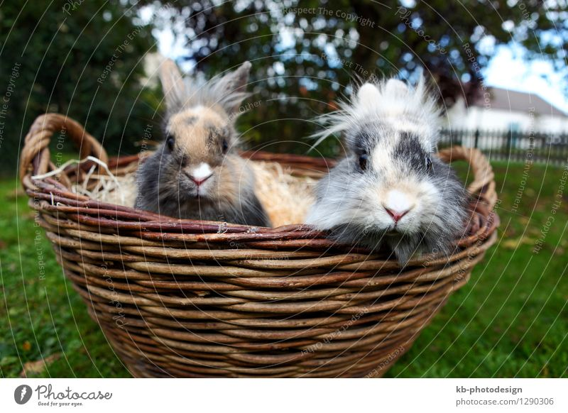 Young Lion head bunnies in a basket Tier Fell Hase & Kaninchen weich bunny curious ears easter fur furry hare mammal pet rabbit rodent small view white young