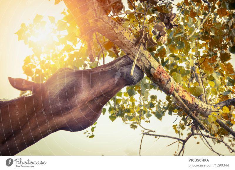 Pferd knabbert an Baum Lifestyle Design Reiten Sommer Natur Sonne Sonnenaufgang Sonnenuntergang Sonnenlicht Herbst Schönes Wetter Blatt Tier 1 gelb Pferdekopf