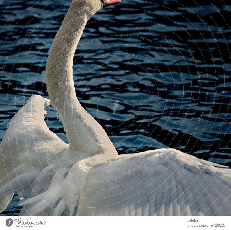 Grössen(sch)wa(h)n Wasser weiß Tier schwarz See Vogel Wellen Kraft fliegen Arme groß elegant Feder Flügel weich