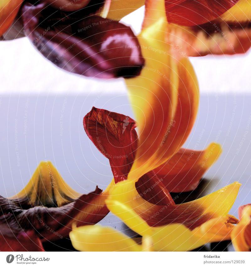 blütenblätter im fall Glück Duft Natur Pflanze Blume Tulpe Blüte fallen Fröhlichkeit gelb violett rot Blütenblatt grell besinnlich durcheinander mehrfarbig