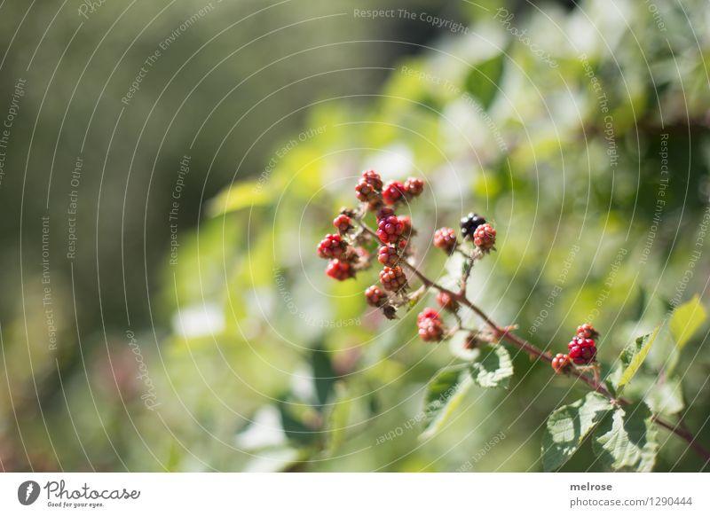 Brombeeren Natur grün Sommer weiß Erholung rot Blatt Wald Umwelt Essen glänzend Frucht Freizeit & Hobby Wachstum Sträucher genießen