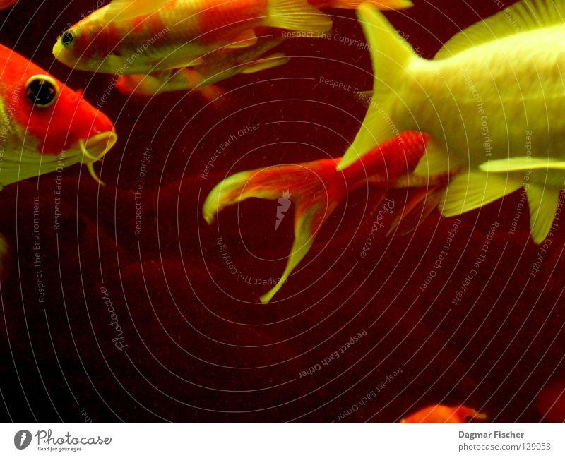 Fischkopf und Fischpopo Wasser rot Meer Tier gelb Leben See Freundschaft Zusammensein orange nass gold mehrere Freizeit & Hobby Schwimmen & Baden