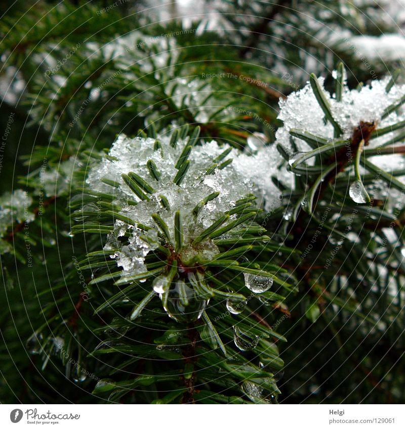 Tannenzweige mit nassem Schnee und Tropfen Baum Pflanze Wachstum Tannennadel dunkel Schneeflocke kalt Winter Dezember Januar Februar Frühling März April frieren