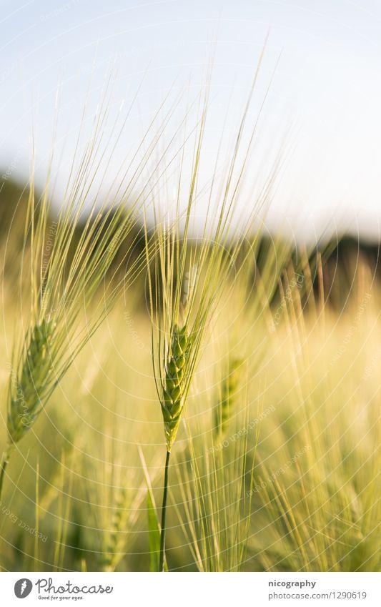 Gerste Himmel Natur grün schön Landschaft gelb Wärme Frühling natürlich Gesundheit braun Stimmung frisch gold frei ästhetisch