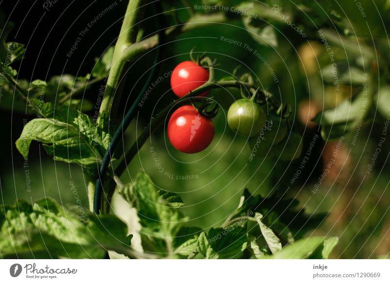 Tomaten Lebensmittel Gemüse Ernährung Bioprodukte Natur Sommer Pflanze Nutzpflanze Tomatenpflanze Garten hängen frisch Gesundheit lecker natürlich saftig grün