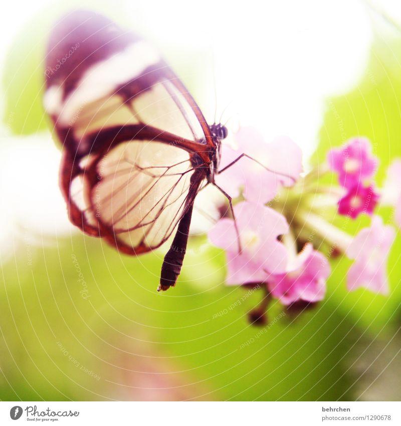 elfengleich Natur Pflanze Tier Frühling Sommer Schönes Wetter Blume Blatt Blüte Garten Park Wiese Wildtier Schmetterling Flügel glasflügelfalter 1 Blühend