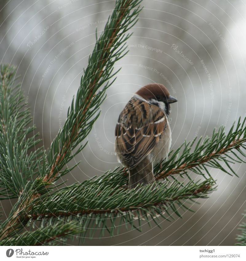 kommt ein Vogel geflogen! Natur Baum Tier Tanne Spatz