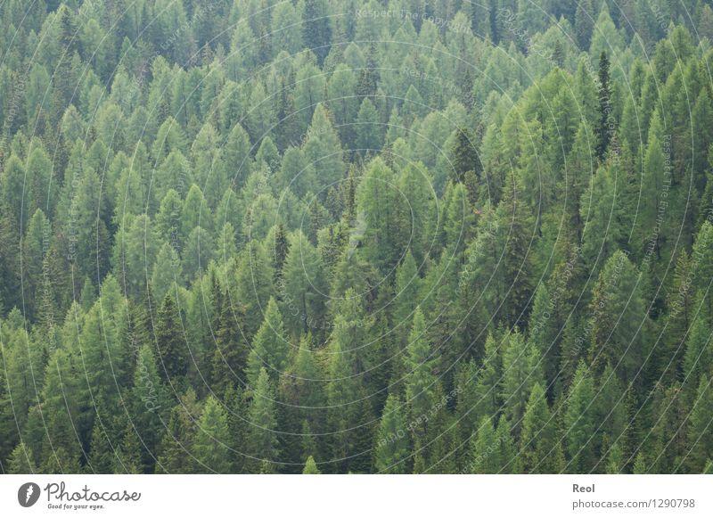 Grüne Spitzen Umwelt Natur Landschaft Pflanze Sommer Baum Grünpflanze Wildpflanze Nadelwald Nadelbaum Fichte Fichtenwald Feld Hügel Duft wild grün Einsamkeit