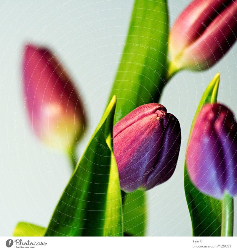flower power A grün Blume Farbe Blüte Frühling hell rosa Kraft violett Tulpe
