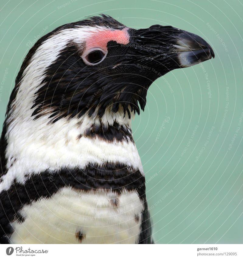 Lächeln, immer Lächeln ... Pinguin schwarz weiß Neugier rot Schnabel Frack Arktis Antarktis kalt frieren Physik kühlen Vogel Vertrauen Madagascar blau Feder