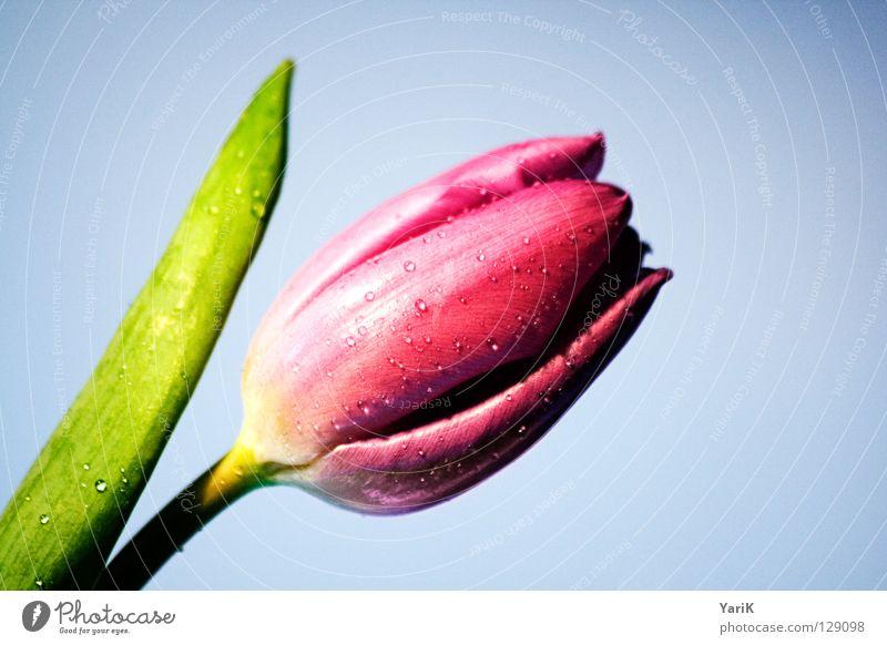 flower power B Blume Farbe Blüte Frühling rosa nass Wassertropfen Kraft Stengel feucht Tulpe