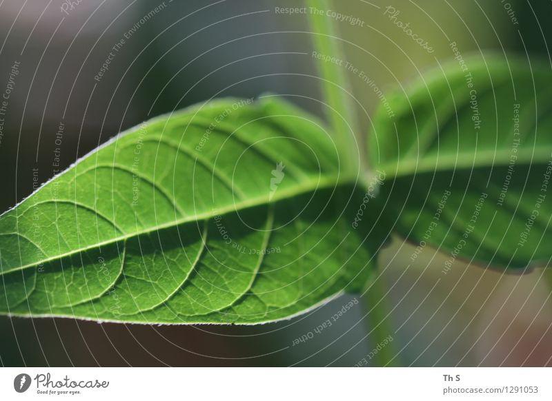 Blatt Natur Pflanze grün schön Sommer ruhig Frühling natürlich elegant authentisch ästhetisch Blühend einfach einzigartig Gelassenheit
