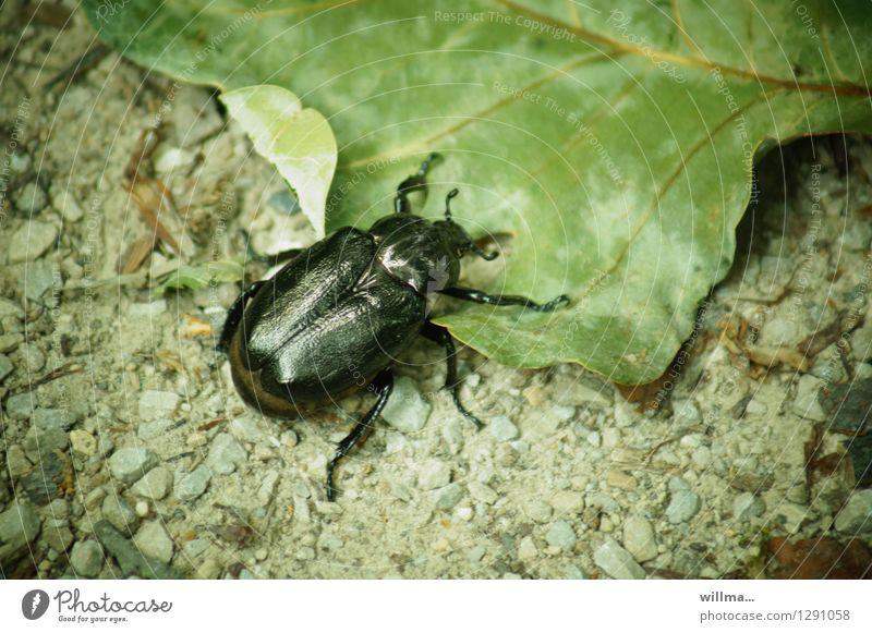käfer aufm blatt | 0815 AST Blatt Käfer Blatthornkäfer Rosenkäfer Eremit Juchtenkäfer krabbeln grün schwarz Insekt Waldbewohner Lebensraum Farbfoto